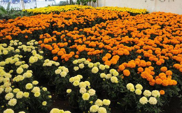 Flor de cempasúchil, para honrar  a fieles difuntos