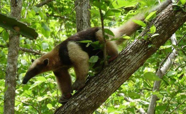 Profepa rescata a oso hormiguero en Tabasco