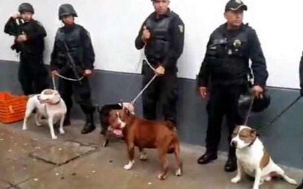 Desarticulan banda que usaba perros pitbull para robar en la CDMX