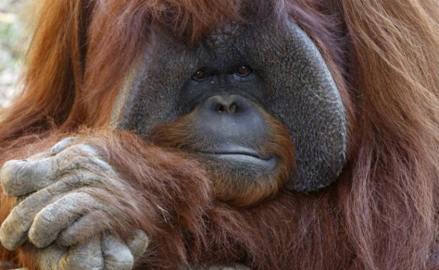 Muere Chantek, el orangután que fue a la universidad
