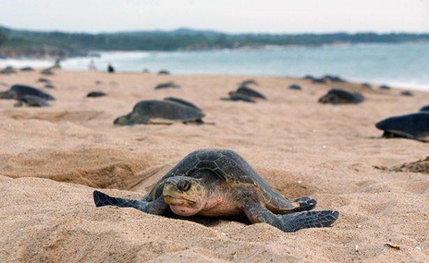 Calor favorece el arribo de tortugas Lora a Tamaulipas