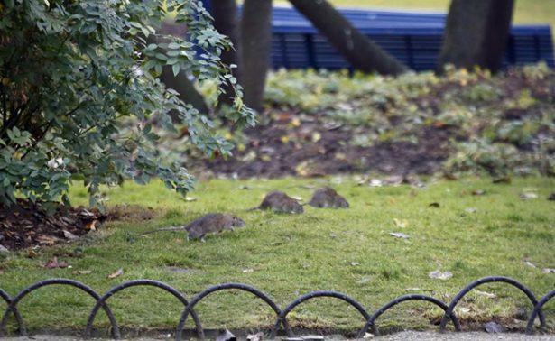 Plaga de ratas obliga a cerrar plazas en el centro de París