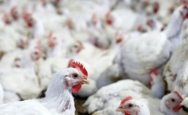 México suspende importación de productos avícolas de Brasil por corrupción