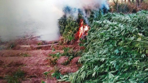 PGR busca a responsables de tres sembradíos de mariguana