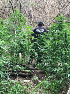 Policía Federal destruye dos plantíos de marihuana en Ciudad Guzmán