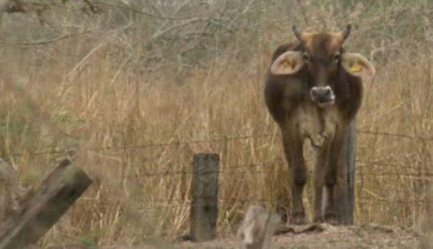 Diezma el estiaje a la  ganadería en Jalisco