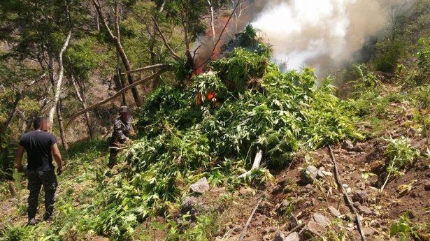 Decomisa FUR dos plantíos de marihuana en Hostotipaquillo