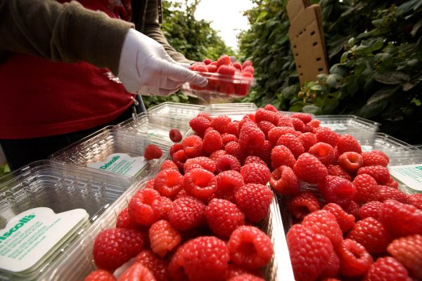 Al  alza la producción de berries: AMSDA