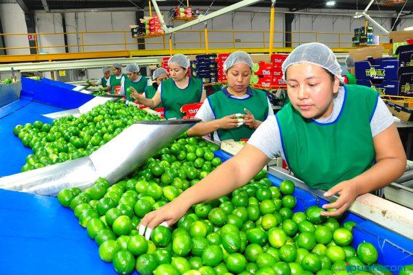 Gana prestigio el limón  persa de Jalisco: Seder