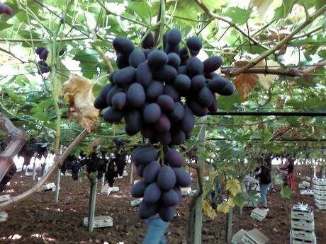 Jalisco se suma a la producción de uva de mesa