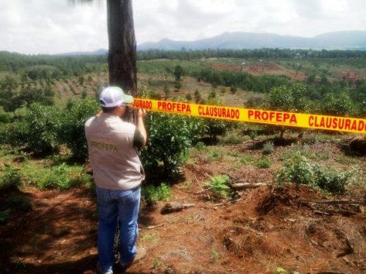 Huertas de aguacate irregulares consumen bosques de Jalisco