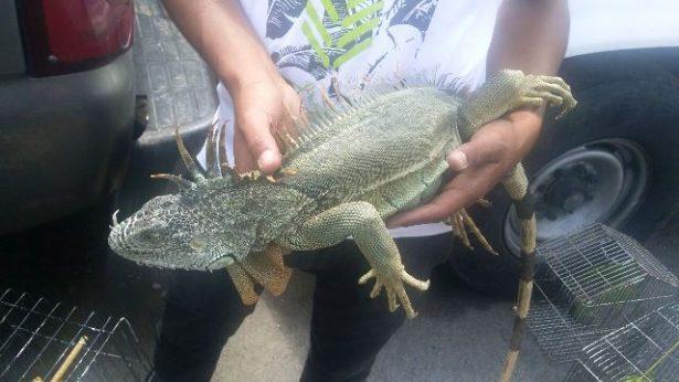 Detienen a dos sujetos por presuntamente vender animales exóticos en tianguis de Tlajomulco