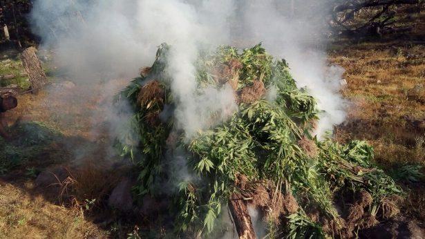 Destruye FUR plantío de mariguana