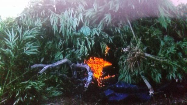 Incineran 117 mil plantas de mariguana en Tequila