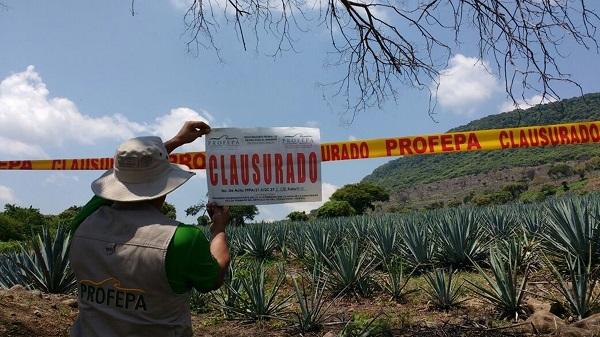 Clausuran 130 hectáreas sembradas sin autorización con agave y limón