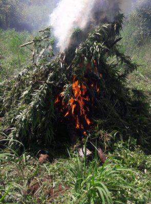 Sembradío con 90 mil plantas de mariguana fue destruido en Hostotipaquillo