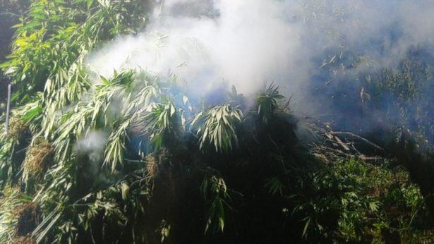 Inicia investigación PGR Jalisco tras destrucción de 533 mil plantas de marihuana