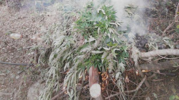 Fueron destruidas 27 mil plantas de mariguana, en Tequila y Hostotipaquillo