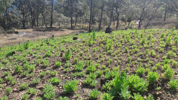 Más de 160 mil plantas de amapola fueron destruidas por la FUR en Mezquitic