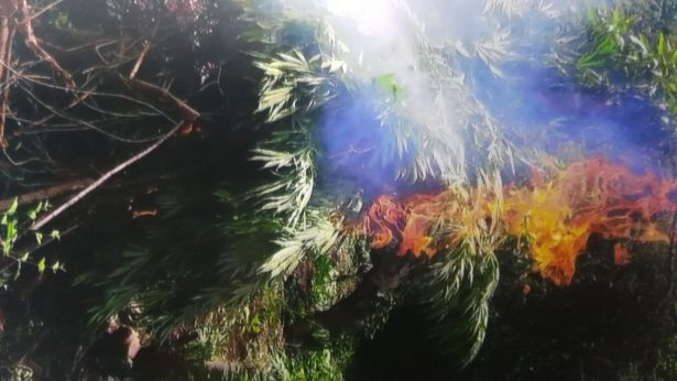 Fueron destruidas más de 82 mil plantas de mariguana en Tequila