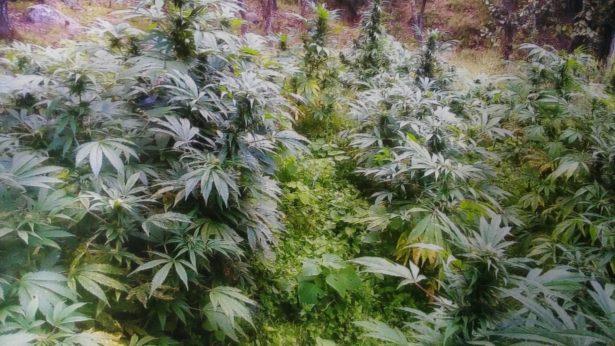 Casi un millón de plantas de marihuana fueron destruidas en Tequila