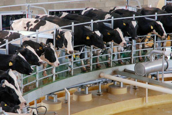 A 30 centavos aumentan litro de leche a productores