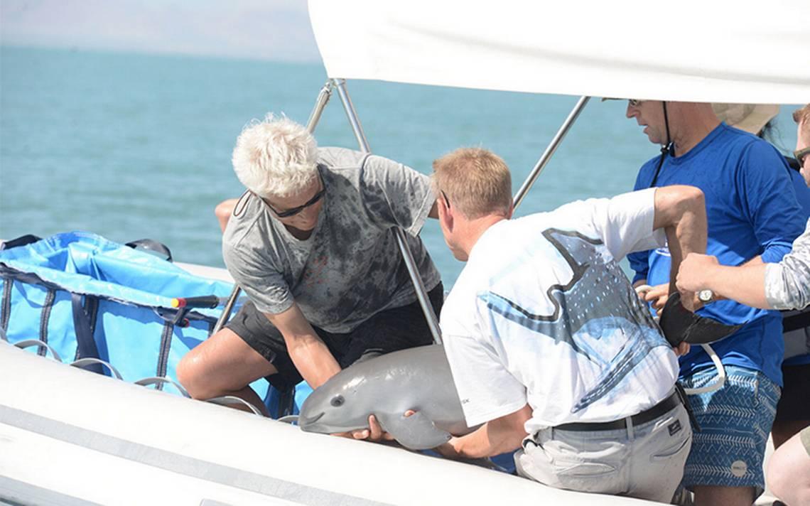 Localizan a la primera vaquita marina del plan para salvar la especie