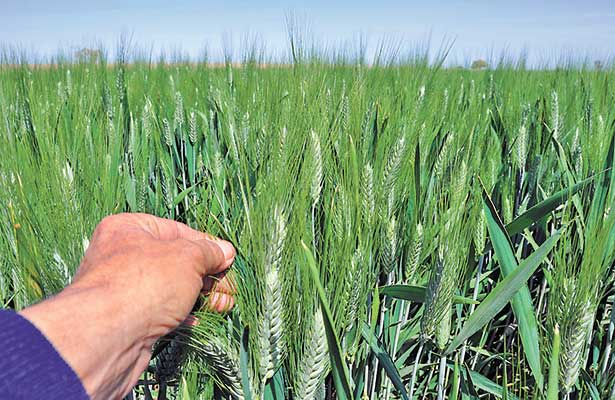 Durante el 2016 la producción de arroz en Venezuela cayó 60 por ciento