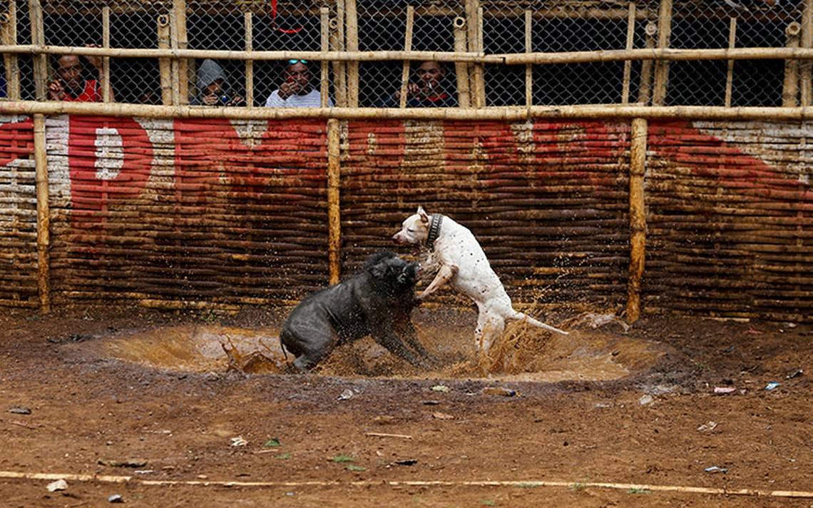 Voraces peleas entre perros y jabalíes, ¿una tradición que debe terminar?