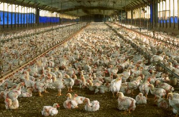 Reporta México brote de virus de gripe aviaria H7N3 en granja deJalisco: OIE