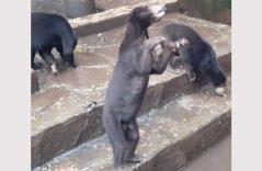 Osos ruegan por comida a visitantes a un zoológico