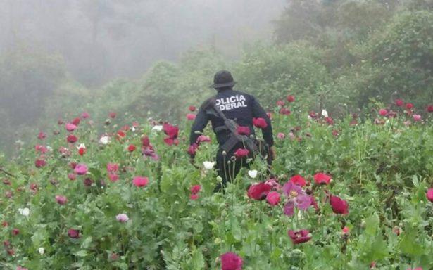Policía Federal destruye 61 plantíos de amapola en Guerrero