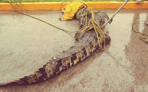 Atrapan a cocodrilo dentro de una casa en Ciudad Madero