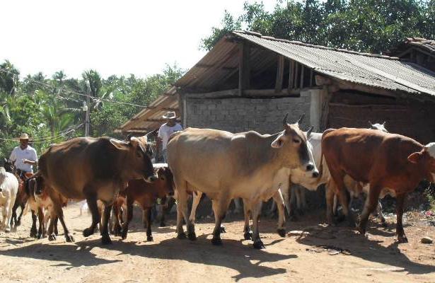 Sufren ganaderos por forraje y agua para su ganado
