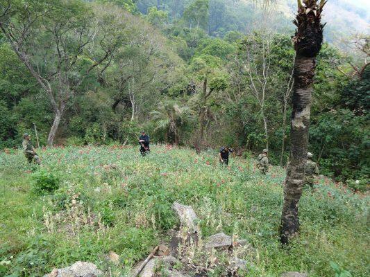 Sedena y PF erradican plantíos de amapola y marihuana en Guerrero