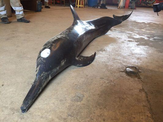 Hallan varados 3 delfines en playa de Petatlán, uno muere