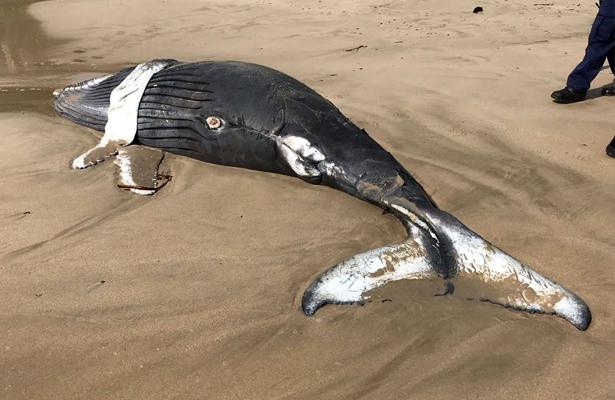 Hallan muerta a una cría de cachalote en Zihuatanejo