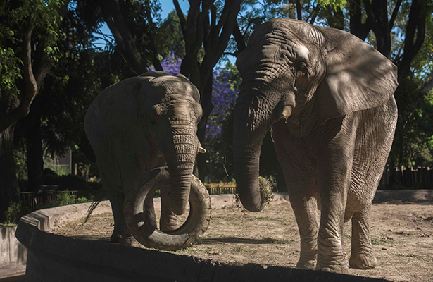 Elefantes, a juicio