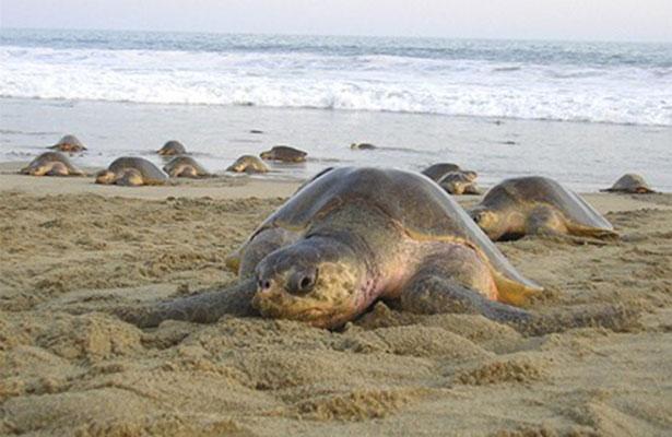 Alertan por mortandad de tortugas en las playas de Tecpan