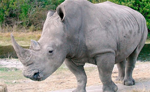 Zoo belga acorta cuernos de rinocerontes para evitar su robo