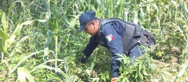 Asegura PGR más de 73 kg de marihuana en Nayarit