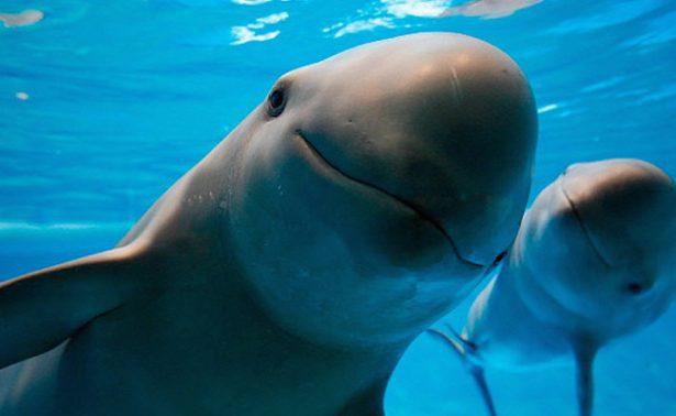 Hallan sin vida a cría de vaquita marina en BC