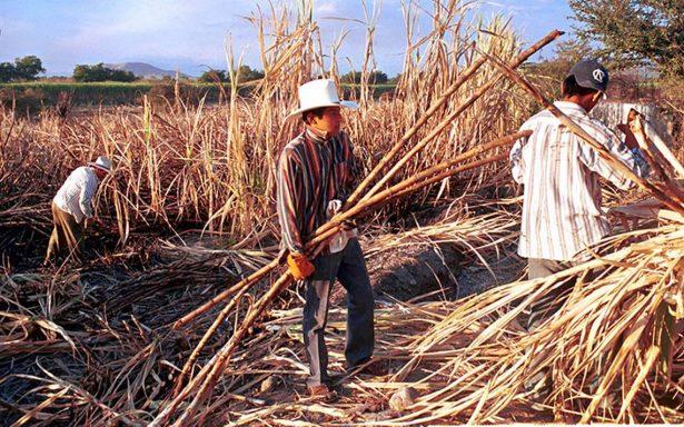 Padecen productores cañeros veracruzanos, siembran más, pero cosechan menos