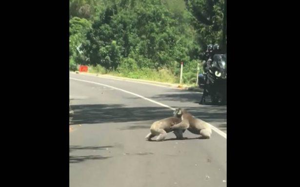 [Video] Koalas paralizan a los automovilistas con tremenda pelea