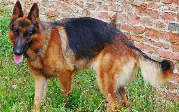 Policía entrena perros para detectar violadores con el olor del esperma