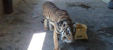 Profepa asegura tigre de Bengala en Valle de Mexicali