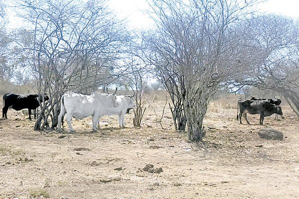 Hay estabilidad en  el sector ganadero