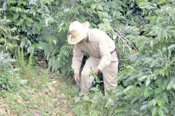 Descartan nueva variedad de roya de Centroamérica en México