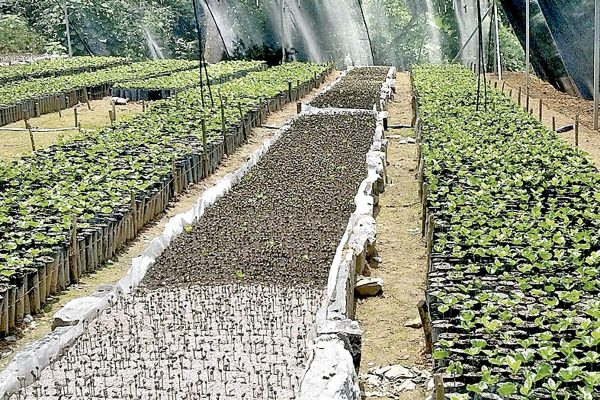 Caficultores producirán sus propias plantas