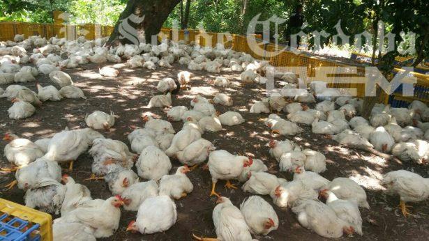 Recuperan más de  500 pollos de Bachoco